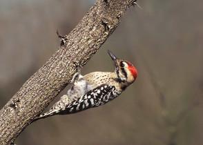 Ladder-backed Woodpecker, male, TX, Feb.