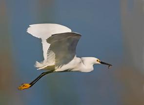 Snowy Egret flight w fish, FL, Jan.jpg