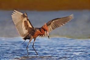 Reddish Egret fishing, Texas, April.jpg