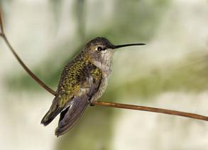 Black-chinned Hummingbird, 11-10-96, N C