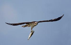 Osprey w big fish, TX, Nov.jpg