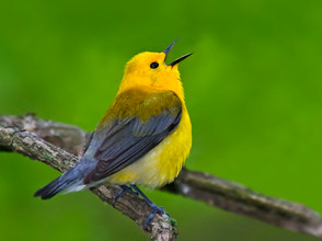 Prothonotary Warbler, male singing, MI,