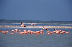Greater Flamingo feeding flock, Inagua,
