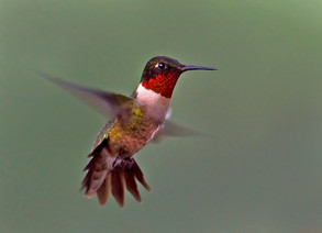 Ruby-throated Hummingbird, male flight.j