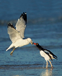 American Oystercatcher with Ring-billed Gull