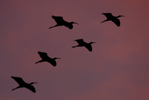 Ibis in flight, FL, March.jpg