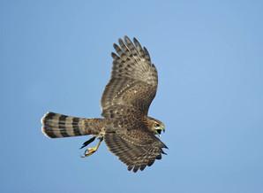 Cooper's Hawk, male, NJ, Oct.jpg