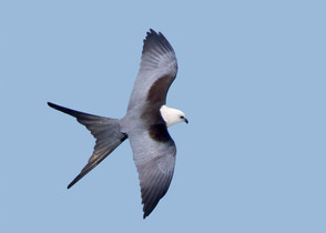 Swallow-tailed Kite, adult dorsal, large
