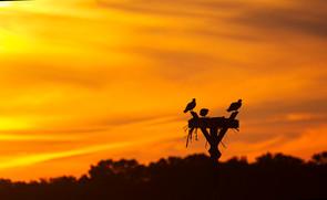Osprey silhouette, NJ, Aug.jpg