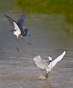 Tricolored Heron and Snowy Egret dispute