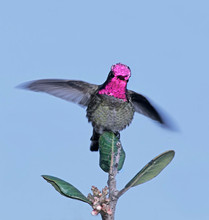 Anna's Hummingbird male, CA, Feb.jpg