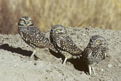 Burrowing Owl family near burrow, CA, Fe
