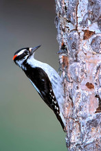 Downy Woodpecker, interior west male, Ju