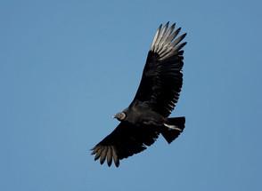 Black Vulture, adult flight, FL, Feb.jpg