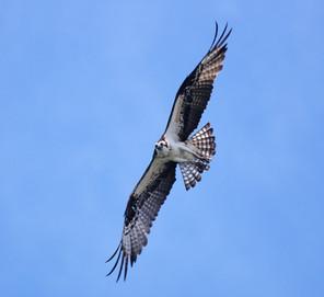 Osprey flight 2, NJ, June.jpg
