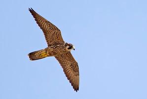 Peregrine Falcon, juv, Sept, NJ.jpg