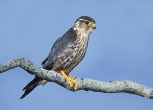 Merlin, adult male, Texas, November.jpg