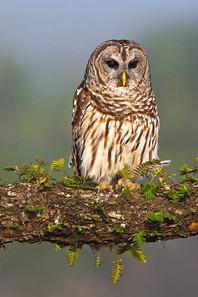 Barred Owl, St Augustine, FL, Apr.jpg