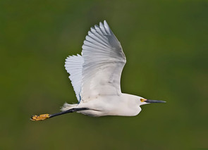 Snowy Egret, adult flite, TX, April.jpg