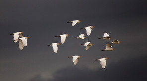 Cattle Egrets migrating in storm, TX, Ap