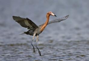 Reddish Egret feeding dance, TX, Apr.jpg