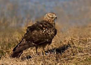 Northern Harrier, adult female