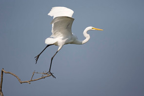 Great Egret sequence 3, TX, April.jpg