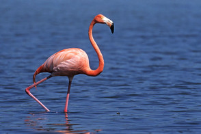 Greater Flamingo adult, Inagua, Bahamas.