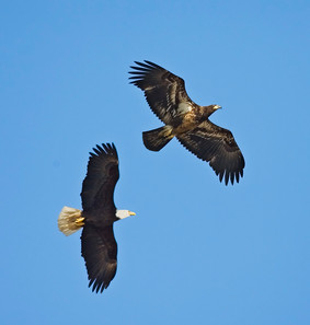 Bald Eagles, adult and first year, AK, M