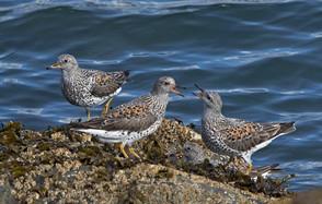 Surfbirds breeding, AK, May.jpg