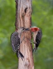 Red-bellied Woodpecker adult feeding juv