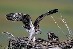 Osprey-juvenile-wingstretch.jpg