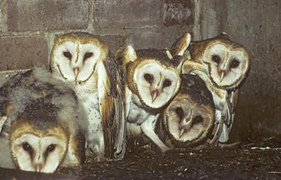 Barn Owl nestlings, TX, April.jpg