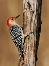 Red-bellied Woodpecker, male.jpg