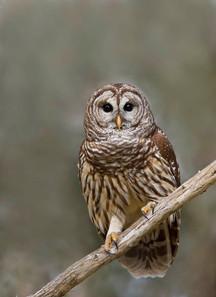 Barred Owl, February.jpg