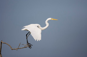 Great Egret sequence 2, TX, April.jpg