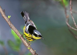 Photographing Warblers