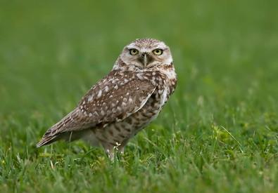 Burrowing Owl, Ft Travis, Bolivar, TX, A