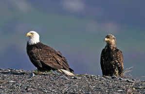 Bald Eagles, adult and juv, AK, May.jpg