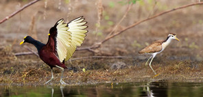 Northern Jacana and chick, Belize, Dec 2