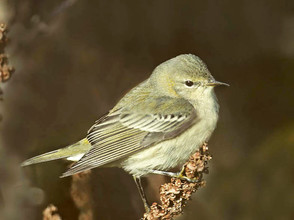 Cape May Warbler, imm female, Oct, NY -