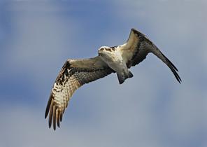Osprey flight, Fl, Feb.jpg