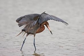 Reddish Egret canopy fishing, TX, April.