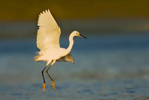 Snowy Egret 'sky fishing' horizontal, NY
