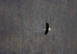 Bald Eagle against hillside, AK, May.jpg