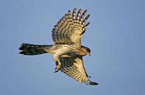 Cooper's Hawk, juvenile.jpg