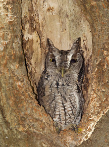 Eastern (Mexican) Screech Owl, Texas, No