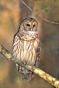 Barred Owl, adult.jpg
