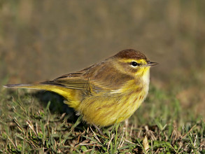 Palm Warbler, eastern yellow ssp, NJ, Oc