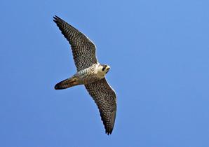 Peregrine Falcon adult, NJ, Sept.jpg